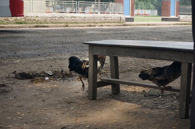 自由に歩き回る鶏