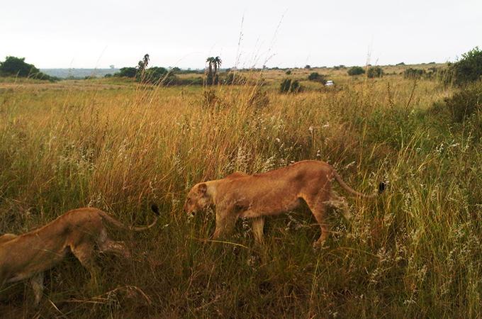 ケニアの野生のライオン