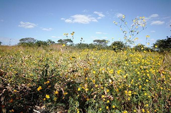 コスモスのような黄色い花